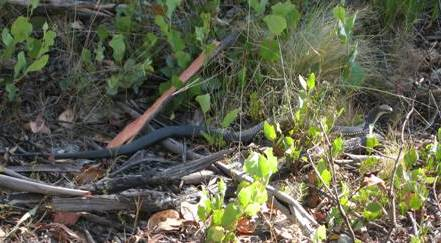 A black snake we came across. Hard to see!
