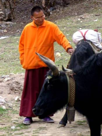 A monk stops to give a yak an ear scratch in Tengboche. Photo Denise Jeffries.